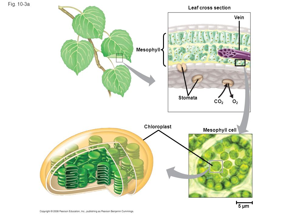 Fig. 10-3a 5 µm Mesophyll cell Stomata CO 2 O2O2 Chloroplast Mesophyll Vein Leaf cross section
