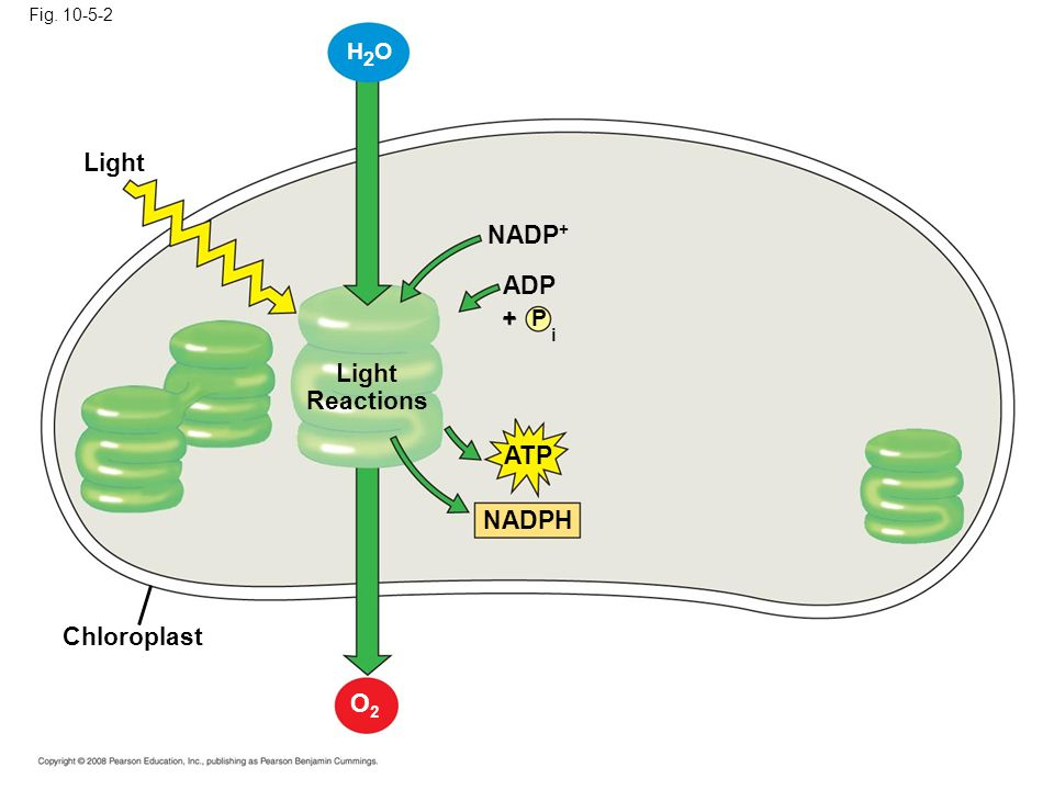 Light Fig. 10-5-2 H2OH2O Chloroplast Light Reactions NADP + P ADP i + ATP NADPH O2O2