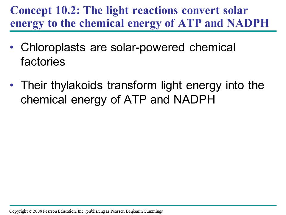 Concept 10.2: The light reactions convert solar energy to the chemical energy of ATP and NADPH Chloroplasts are solar-powered chemical factories Their