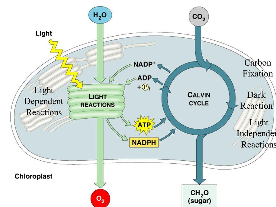 Light Dependent Reactions Carbon Fixation Dark Reaction Light Independent Reactions