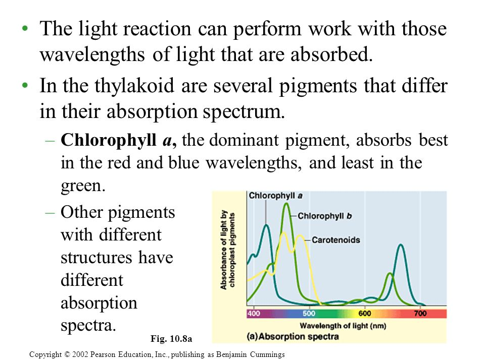 The light reaction can perform work with those wavelengths of light that are absorbed.