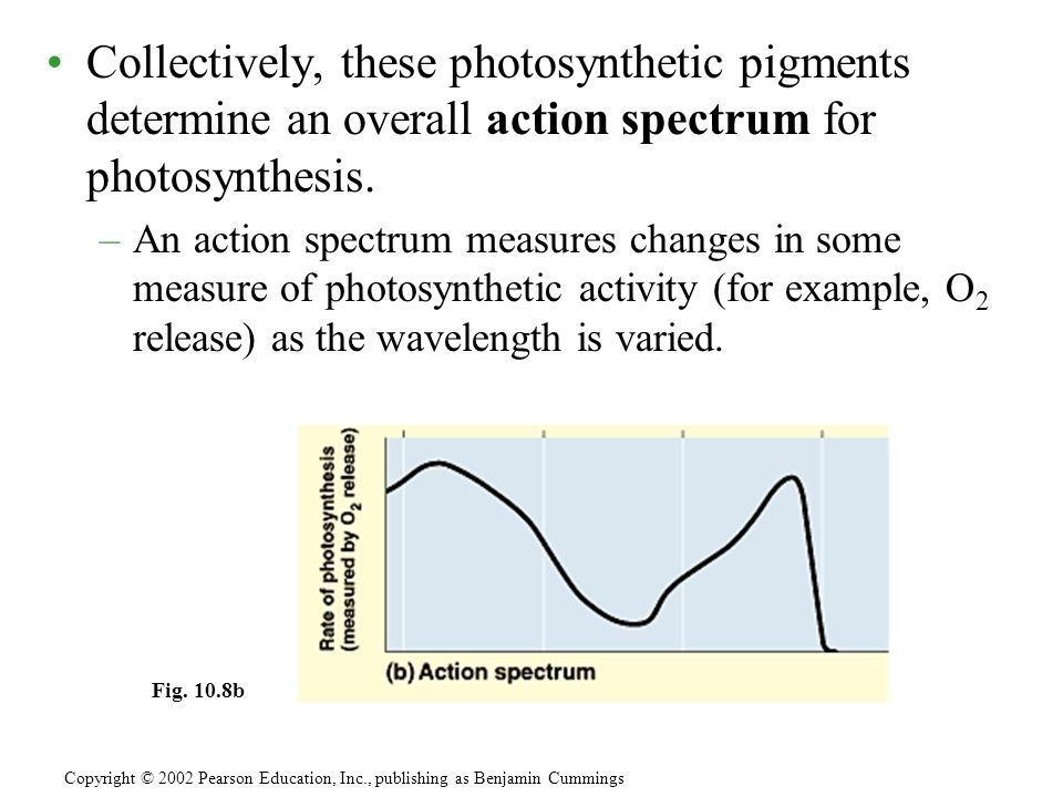 Collectively, these photosynthetic pigments determine an overall action spectrum for photosynthesis.
