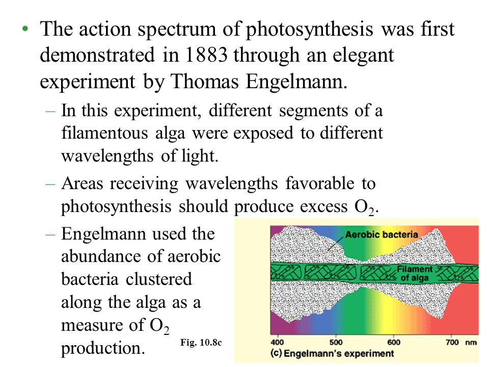 The action spectrum of photosynthesis was first demonstrated in 1883 through an elegant experiment by Thomas Engelmann.