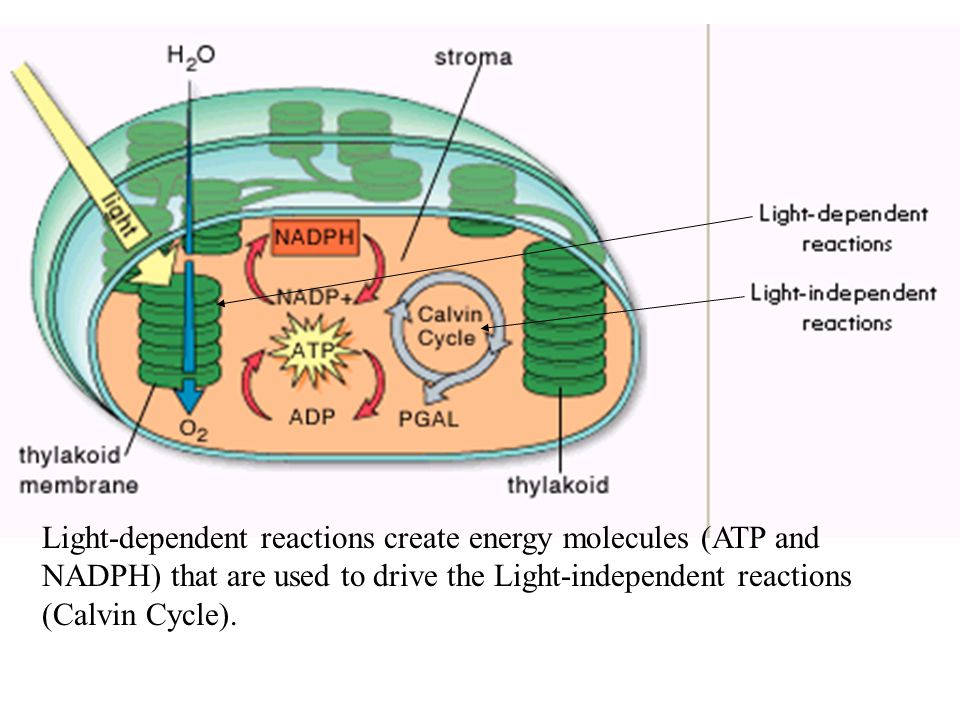 Light-dependent reactions create energy molecules (ATP and NADPH) that are used to drive the Light-independent reactions (Calvin Cycle).