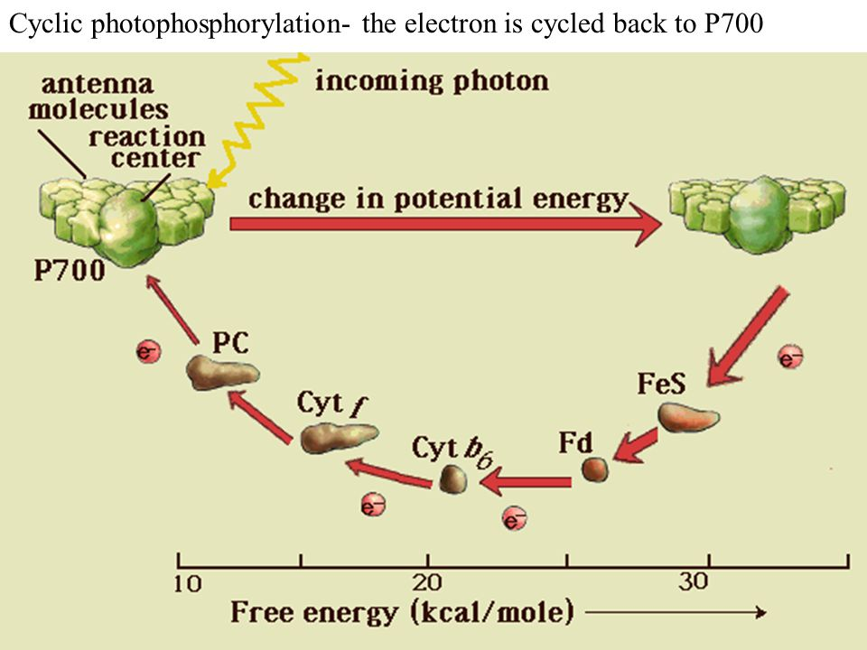 Cyclic photophosphorylation- the electron is cycled back to P700