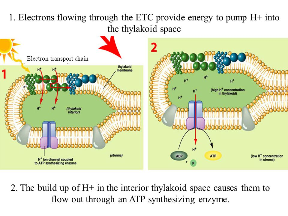 1. Electrons flowing through the ETC provide energy to pump H+ into the thylakoid space 2.