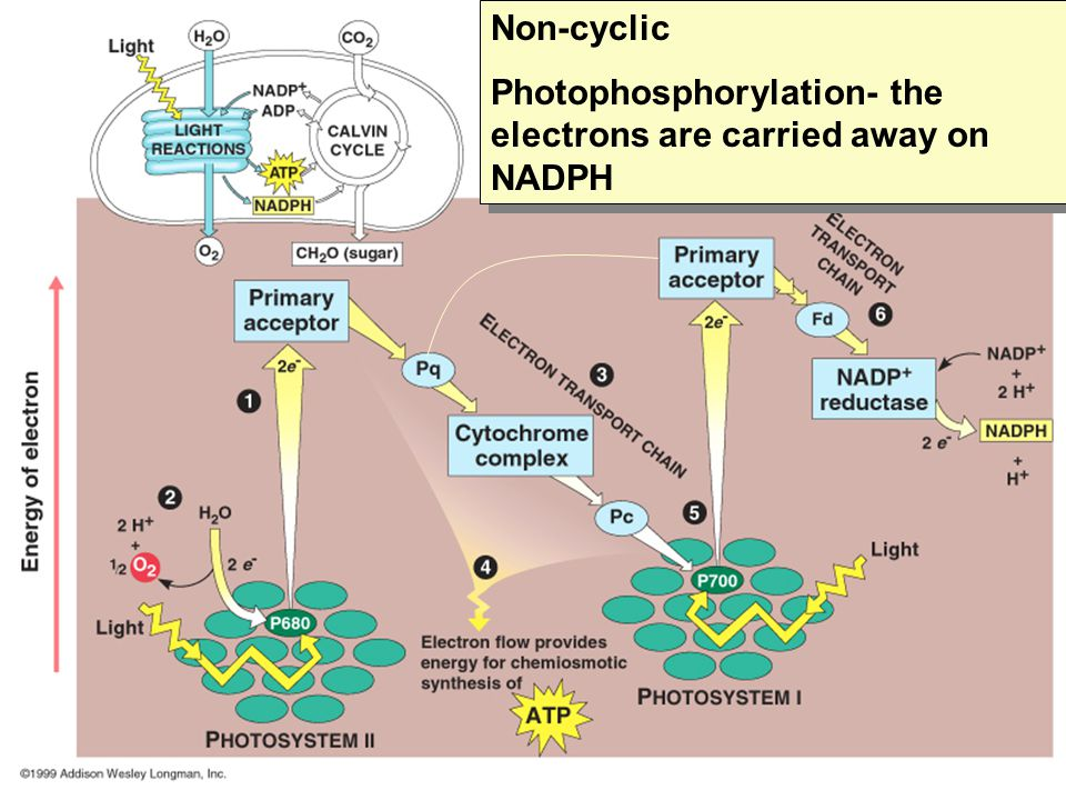 Non-cyclic Photophosphorylation- the electrons are carried away on NADPH Non-cyclic Photophosphorylation- the electrons are carried away on NADPH