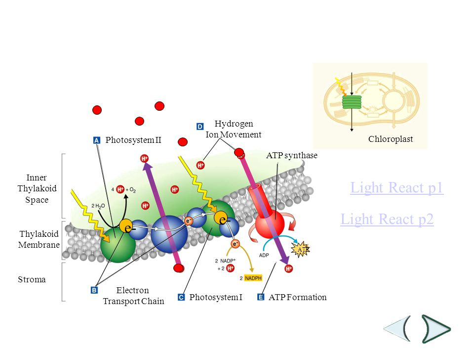 Hydrogen Ion Movement Photosystem II Inner Thylakoid Space Thylakoid Membrane Stroma ATP synthase Electron Transport Chain Photosystem IATP Formation Chloroplast Section 8-3 Figure 8-10 Light-Dependent Reactions e- H+ H ATP e- Light React p1 Light React p2