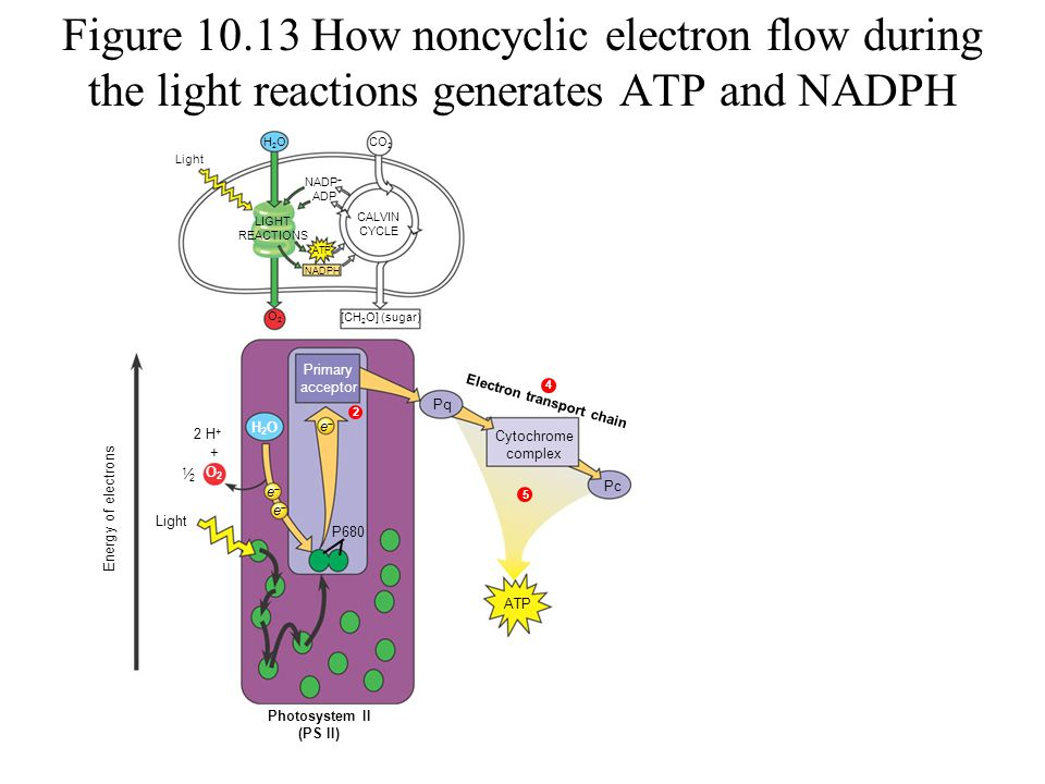 Figure 10.13 How noncyclic electron flow during the light reactions generates ATP and NADPH 1 3 O2O2 + H2OH2OCO 2 Light LIGHT REACTIONS CALVIN CYCLE O2O2 NADP + NADPH [CH 2 O] (sugar) Light Photosystem II (PS II) ee Primary acceptor ATP 2 H + 1⁄21⁄2 H2OH2O 2 Energy of electrons ADP Pq Cytochrome complex Pc ATP Electron transport chain 5 4 P680 ee ee
