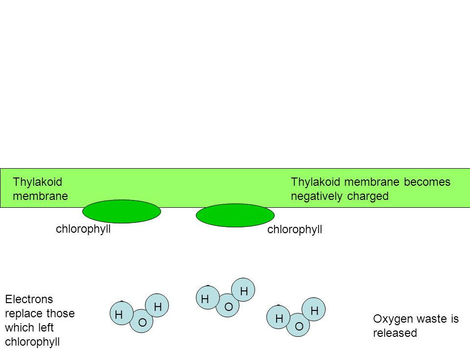 Step 2 & 3: H 2 O broken into H +, e -, and O ›e - replace those lost by chlorophyll ›O waste ›H + pumped inside the thylakoids and accumulate