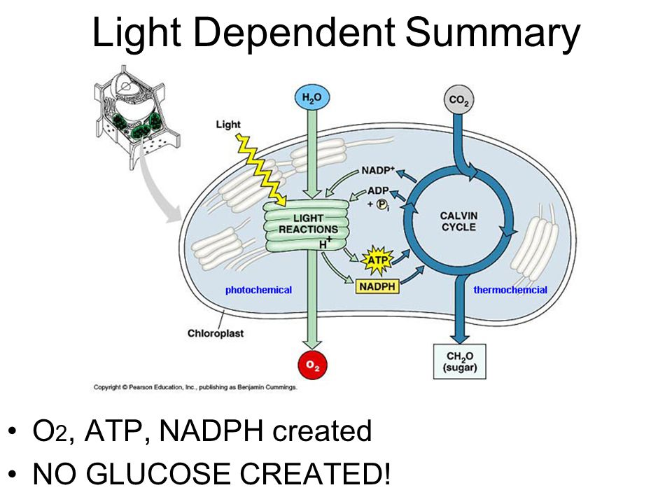 NADPH produced (H taxi) ›e - causes H + to bond with NADP ›NADPH will be used later ATP produced ›H + ions diffuse and bond ADP with P i ›ATP will be used later H+ ATP e- ATP