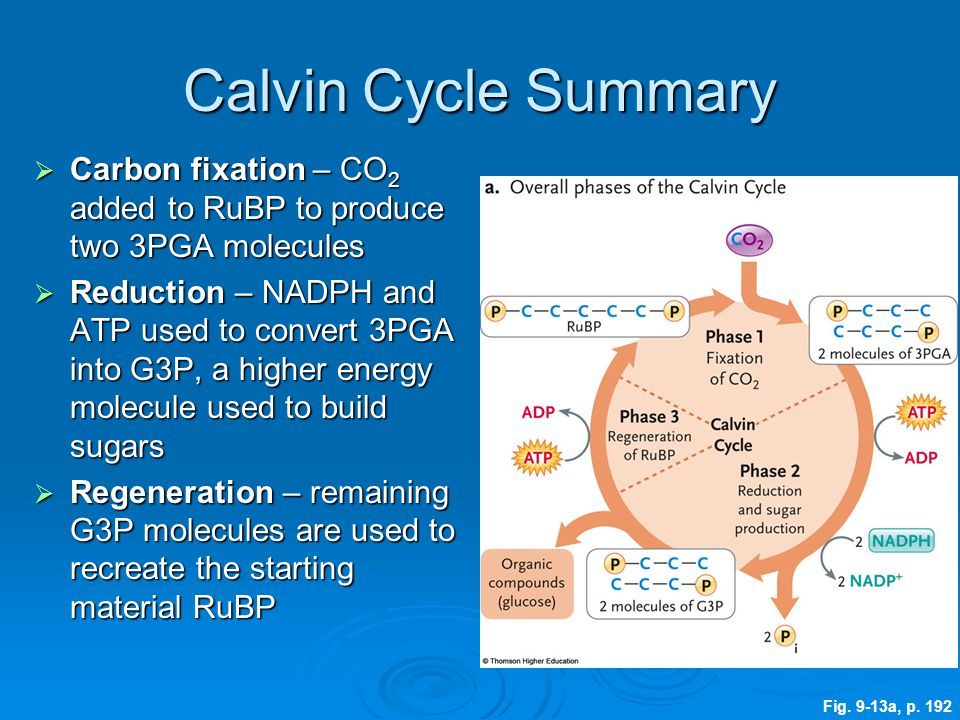 Calvin Cycle Summary  Carbon fixation – CO 2 added to RuBP to produce two 3PGA molecules  Reduction – NADPH and ATP used to convert 3PGA into G3P, a
