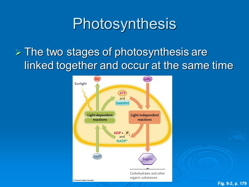 Photosynthesis  The two stages of photosynthesis are linked together and occur at the same time Fig. 9-2, p. 179