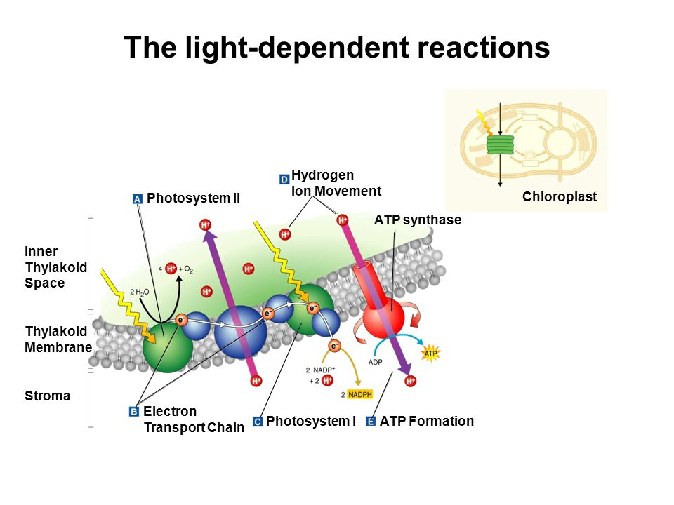 The light-dependent reactions Hydrogen Ion Movement Photosystem II Inner Thylakoid Space Thylakoid Membrane Stroma ATP synthase Electron Transport Chain Photosystem IATP Formation Chloroplast