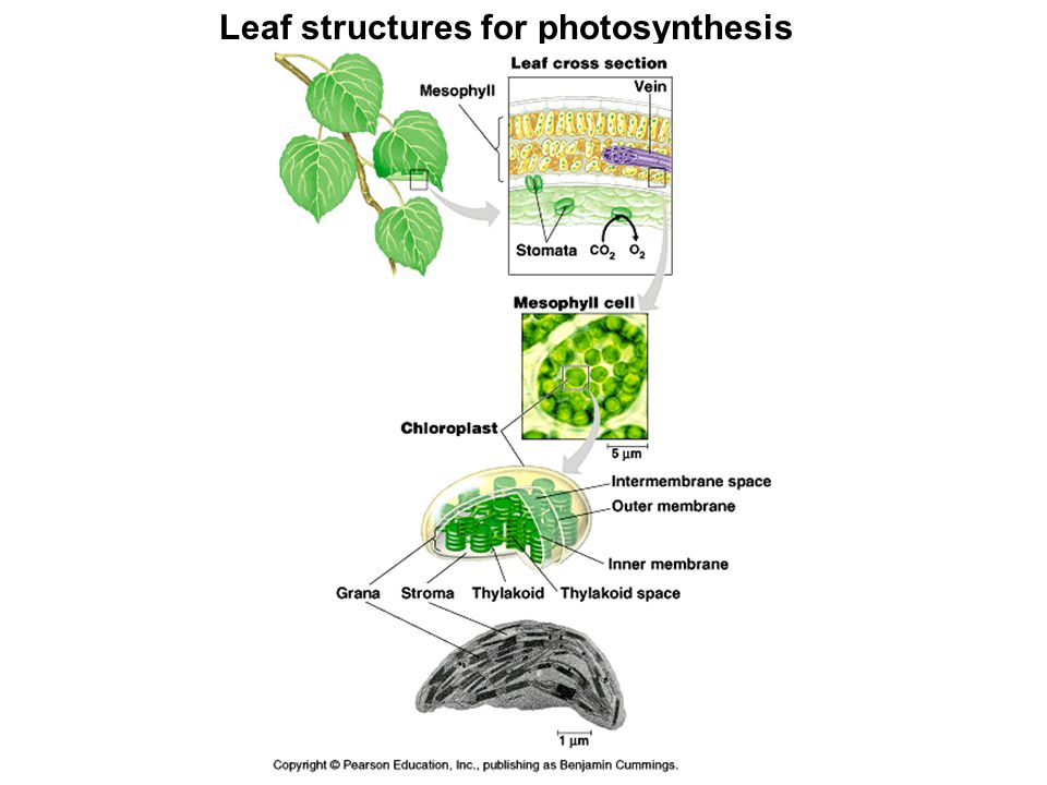 Leaf structures for photosynthesis