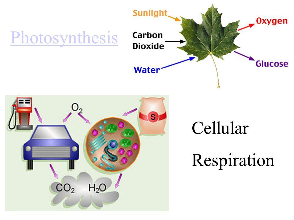 Photosynthesis Cellular Respiration