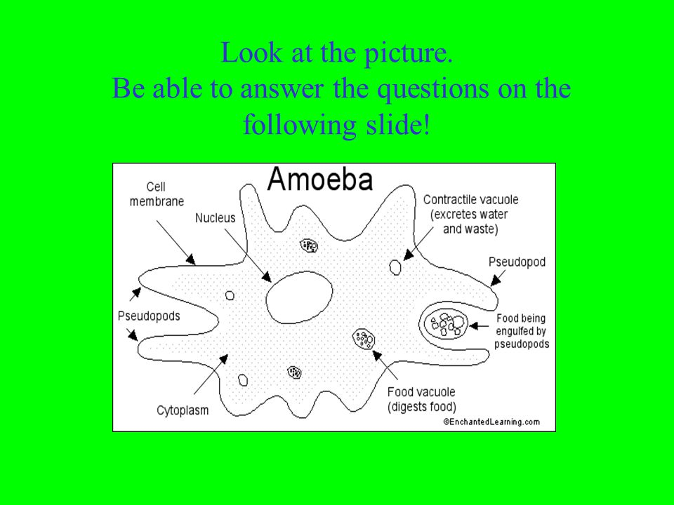 Which organism appears in the photos? paramecium