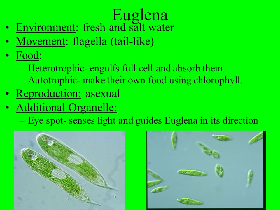 Essential Question: What are the characteristics of the following single-celled organisms.