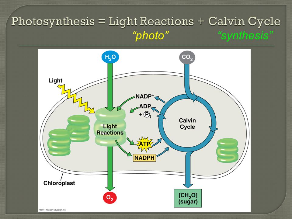 """""""photo""""""""synthesis"""""""