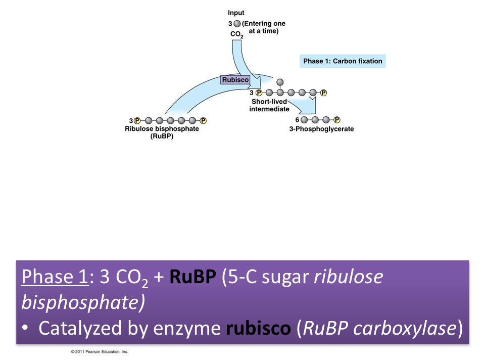 Phase 1: 3 CO 2 + RuBP (5-C sugar ribulose bisphosphate) Catalyzed by enzyme rubisco (RuBP carboxylase) Phase 1: 3 CO 2 + RuBP (5-C sugar ribulose bis
