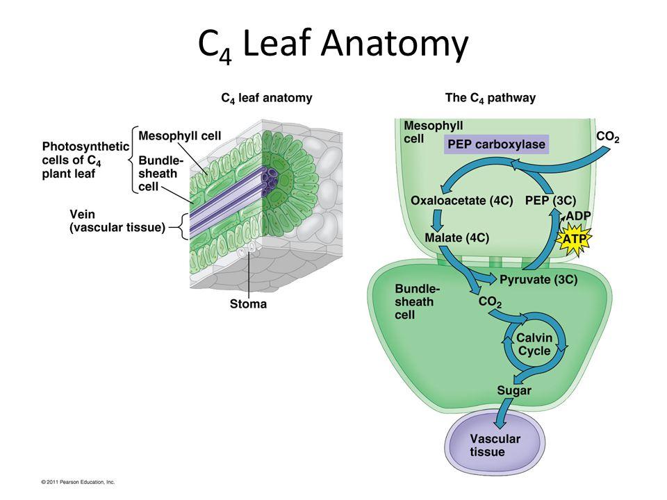 C 4 Leaf Anatomy