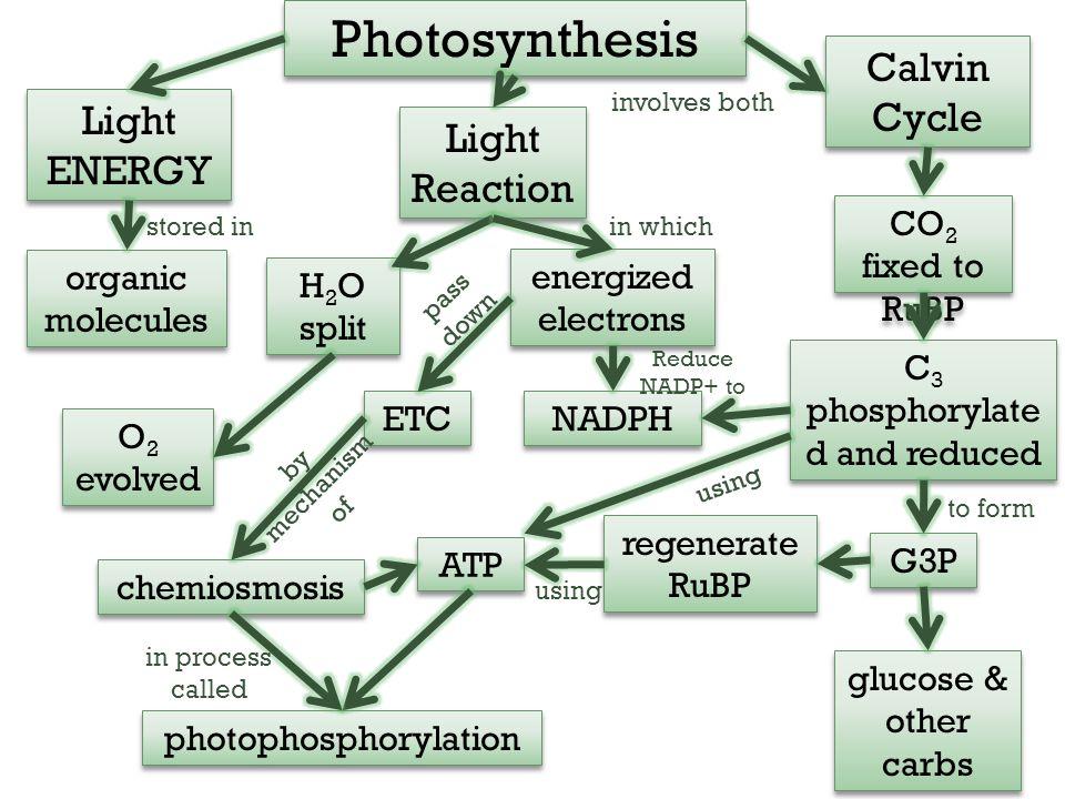 Photosynthesis Light Reaction Light ENERGY H 2 O split organic molecules O 2 evolved ETC regenerate RuBP photophosphorylation ATP chemiosmosis energiz