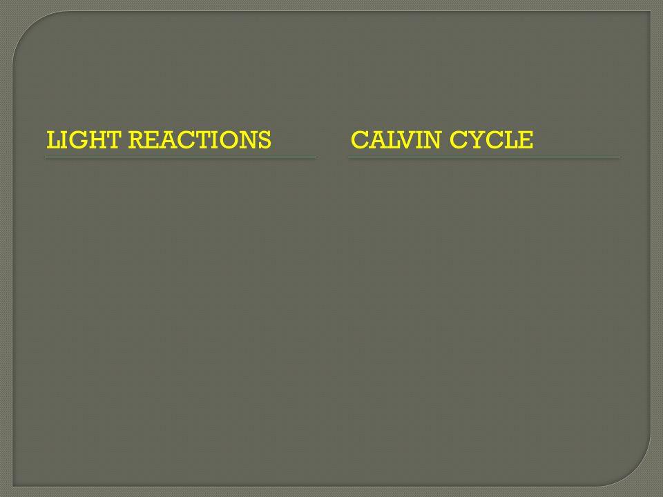 LIGHT REACTIONS CALVIN CYCLE