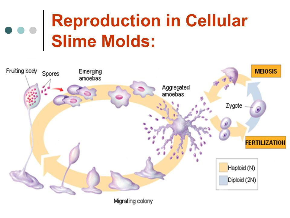 Reproduction in Cellular Slime Molds: