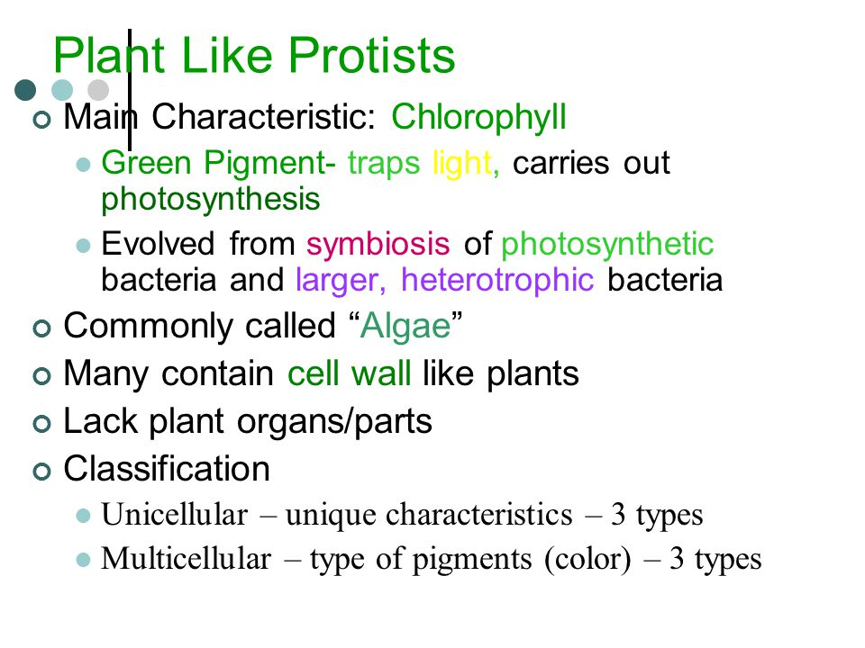 Plant Like Protists Main Characteristic: Chlorophyll Green Pigment- traps light, carries out photosynthesis Evolved from symbiosis of photosynthetic bacteria and larger, heterotrophic bacteria Commonly called Algae Many contain cell wall like plants Lack plant organs/parts Classification Unicellular – unique characteristics – 3 types Multicellular – type of pigments (color) – 3 types