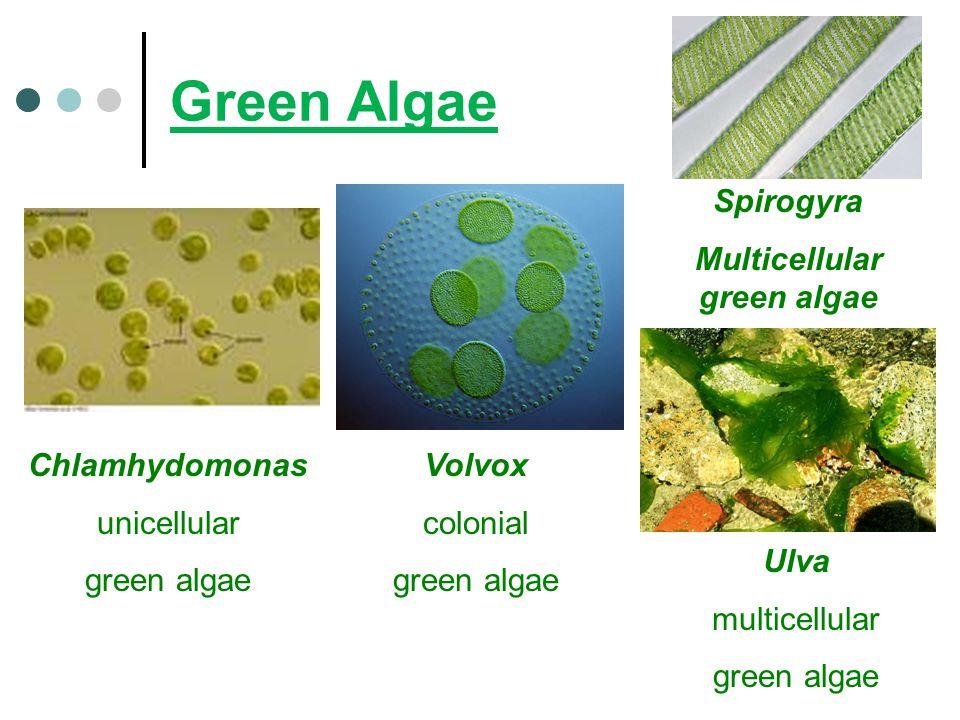 Green Algae Chlamhydomonas unicellular green algae Volvox colonial green algae Ulva multicellular green algae Spirogyra Multicellular green algae