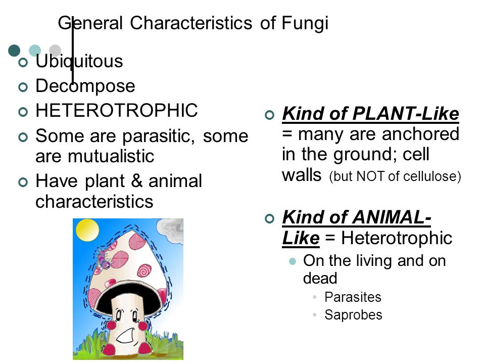 General Characteristics of Fungi Ubiquitous Decompose HETEROTROPHIC Some are parasitic, some are mutualistic Have plant & animal characteristics Kind of PLANT-Like = many are anchored in the ground; cell walls (but NOT of cellulose) Kind of ANIMAL- Like = Heterotrophic On the living and on dead Parasites Saprobes