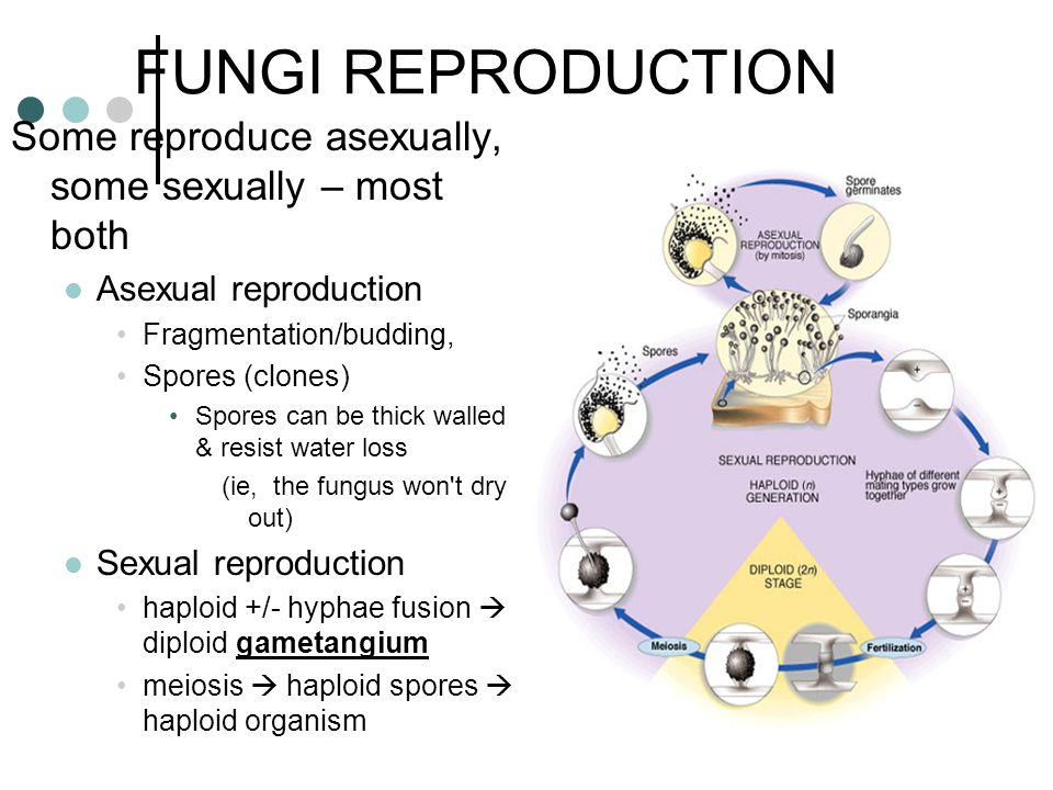 FUNGI REPRODUCTION Some reproduce asexually, some sexually – most both Asexual reproduction Fragmentation/budding, Spores (clones) Spores can be thick walled & resist water loss (ie, the fungus won t dry out) Sexual reproduction haploid +/- hyphae fusion  diploid gametangium meiosis  haploid spores  haploid organism
