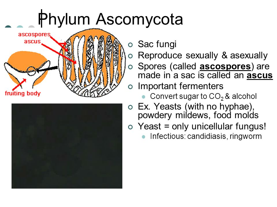 Phylum Ascomycota Sac fungi Reproduce sexually & asexually Spores (called ascospores) are made in a sac is called an ascus Important fermenters Convert sugar to CO 2 & alcohol Ex.