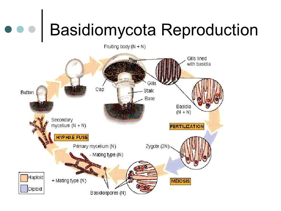 Basidiomycota Reproduction