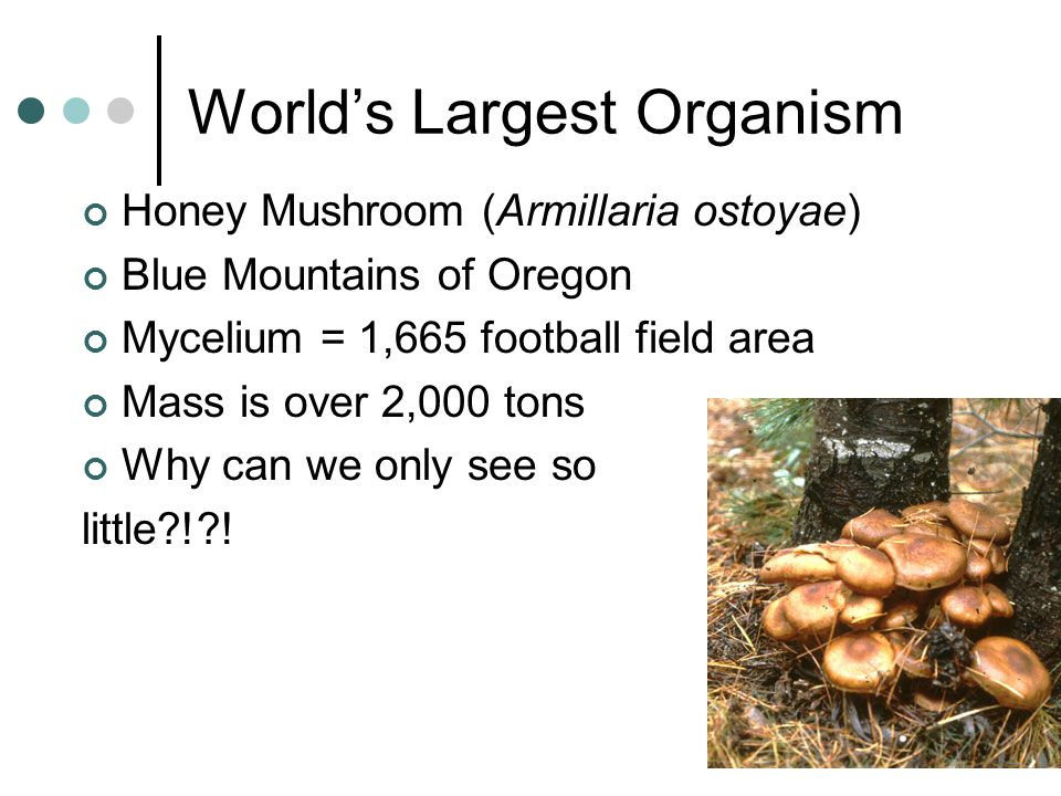 World's Largest Organism Honey Mushroom (Armillaria ostoyae) Blue Mountains of Oregon Mycelium = 1,665 football field area Mass is over 2,000 tons Why can we only see so little?!?!