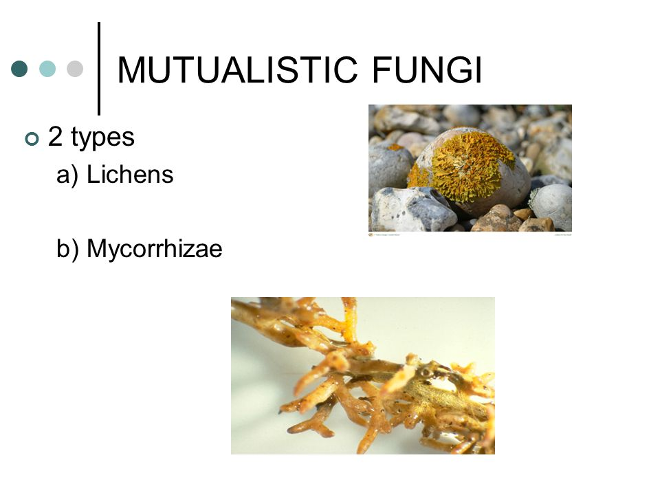MUTUALISTIC FUNGI 2 types a) Lichens b) Mycorrhizae