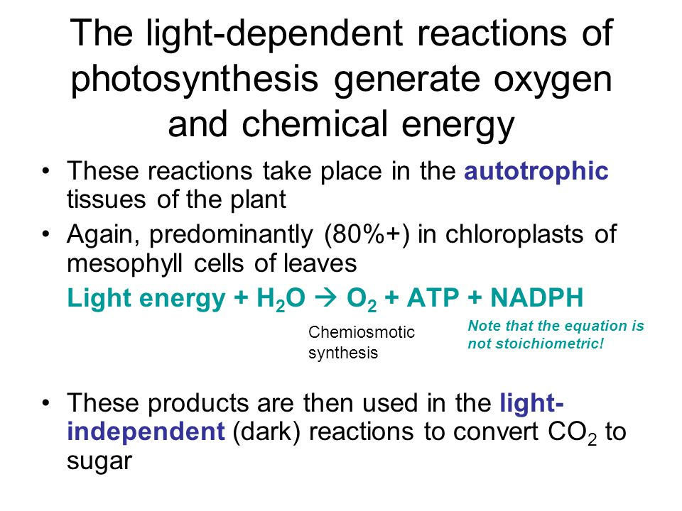 These reactions take place in the autotrophic tissues of the plant Again, predominantly (80%+) in chloroplasts of mesophyll cells of leaves Light energy + H 2 O  O 2 + ATP + NADPH These products are then used in the light- independent (dark) reactions to convert CO 2 to sugar The light-dependent reactions of photosynthesis generate oxygen and chemical energy Chemiosmotic synthesis Note that the equation is not stoichiometric!