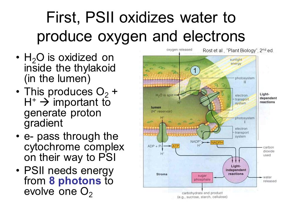 First, PSII oxidizes water to produce oxygen and electrons H 2 O is oxidized on inside the thylakoid (in the lumen) This produces O 2 + H +  important to generate proton gradient e- pass through the cytochrome complex on their way to PSI PSII needs energy from 8 photons to evolve one O 2 Rost et al., Plant Biology , 2 nd ed.