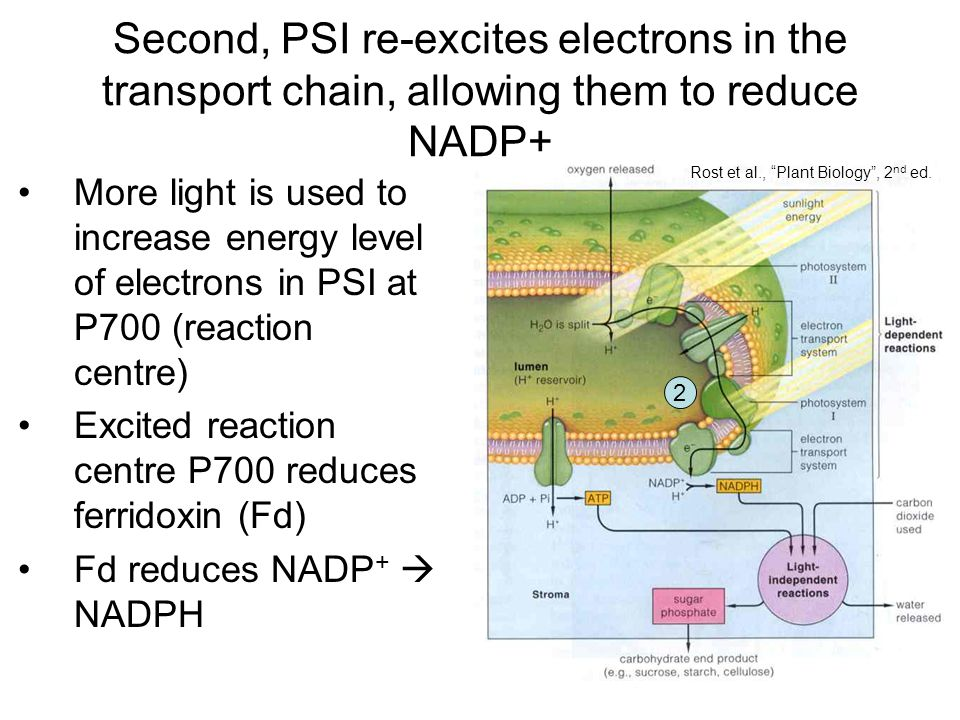 More light is used to increase energy level of electrons in PSI at P700 (reaction centre) Excited reaction centre P700 reduces ferridoxin (Fd) Fd reduces NADP +  NADPH Rost et al., Plant Biology , 2 nd ed.