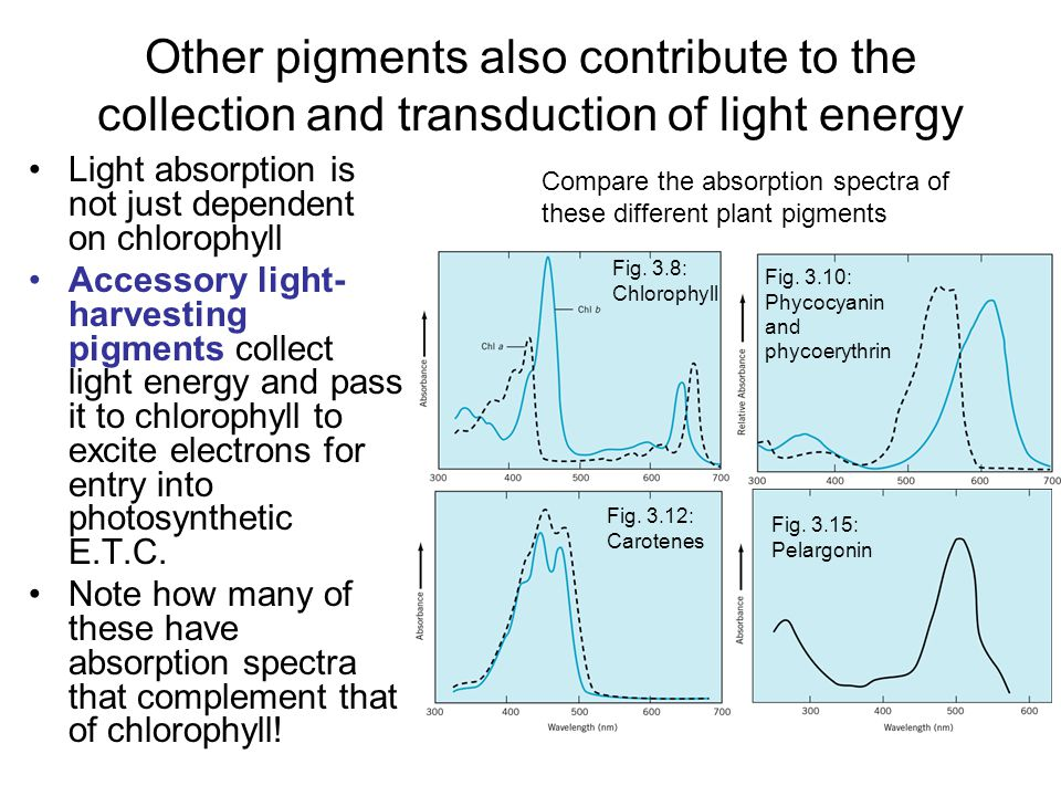 Other pigments also contribute to the collection and transduction of light energy Light absorption is not just dependent on chlorophyll Accessory light- harvesting pigments collect light energy and pass it to chlorophyll to excite electrons for entry into photosynthetic E.T.C.