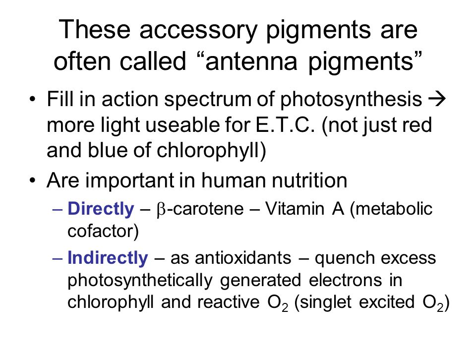 These accessory pigments are often called antenna pigments Fill in action spectrum of photosynthesis  more light useable for E.T.C.