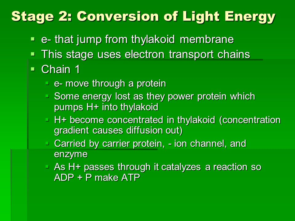 Stage 2: Conversion of Light Energy  e- that jump from thylakoid membrane  This stage uses electron transport chains  Chain 1  e- move through a protein  Some energy lost as they power protein which pumps H+ into thylakoid  H+ become concentrated in thylakoid (concentration gradient causes diffusion out)  Carried by carrier protein, - ion channel, and enzyme  As H+ passes through it catalyzes a reaction so ADP + P make ATP
