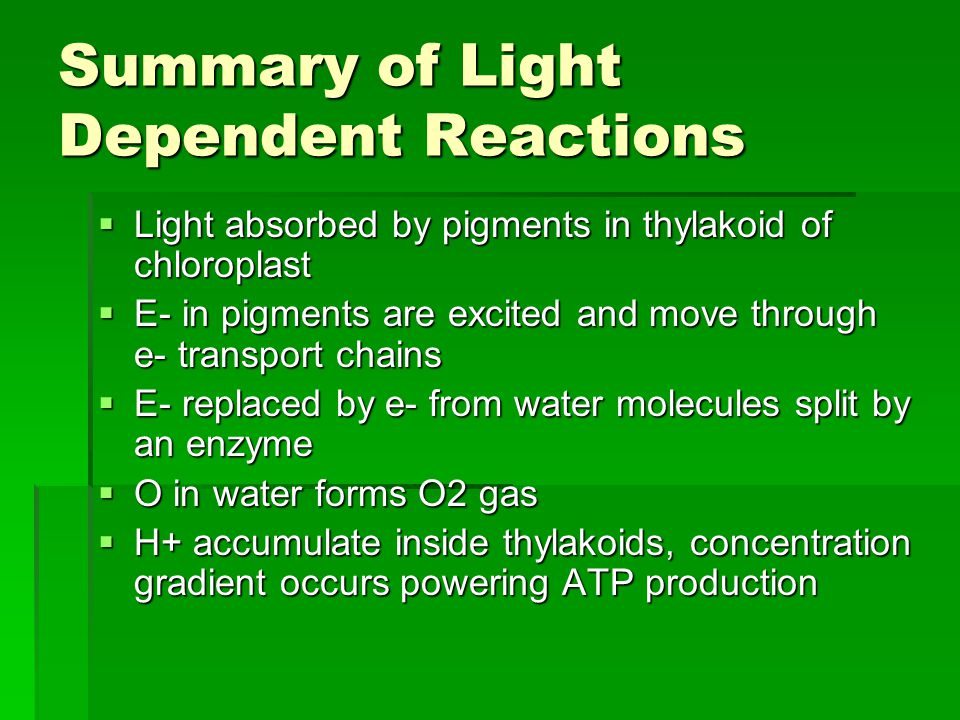 Summary of Light Dependent Reactions  Light absorbed by pigments in thylakoid of chloroplast  E- in pigments are excited and move through e- transport chains  E- replaced by e- from water molecules split by an enzyme  O in water forms O2 gas  H+ accumulate inside thylakoids, concentration gradient occurs powering ATP production