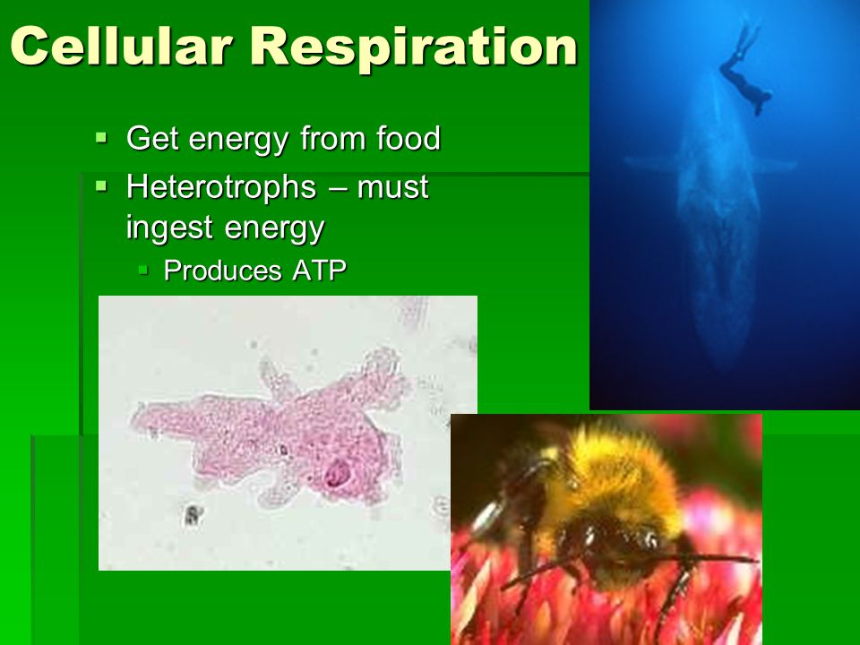 Cellular Respiration  Get energy from food  Heterotrophs – must ingest energy  Produces ATP