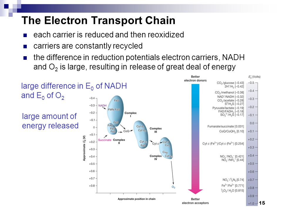 15 The Electron Transport Chain large difference in E 0 of NADH and E 0 of O 2 large amount of energy released each carrier is reduced and then reoxid