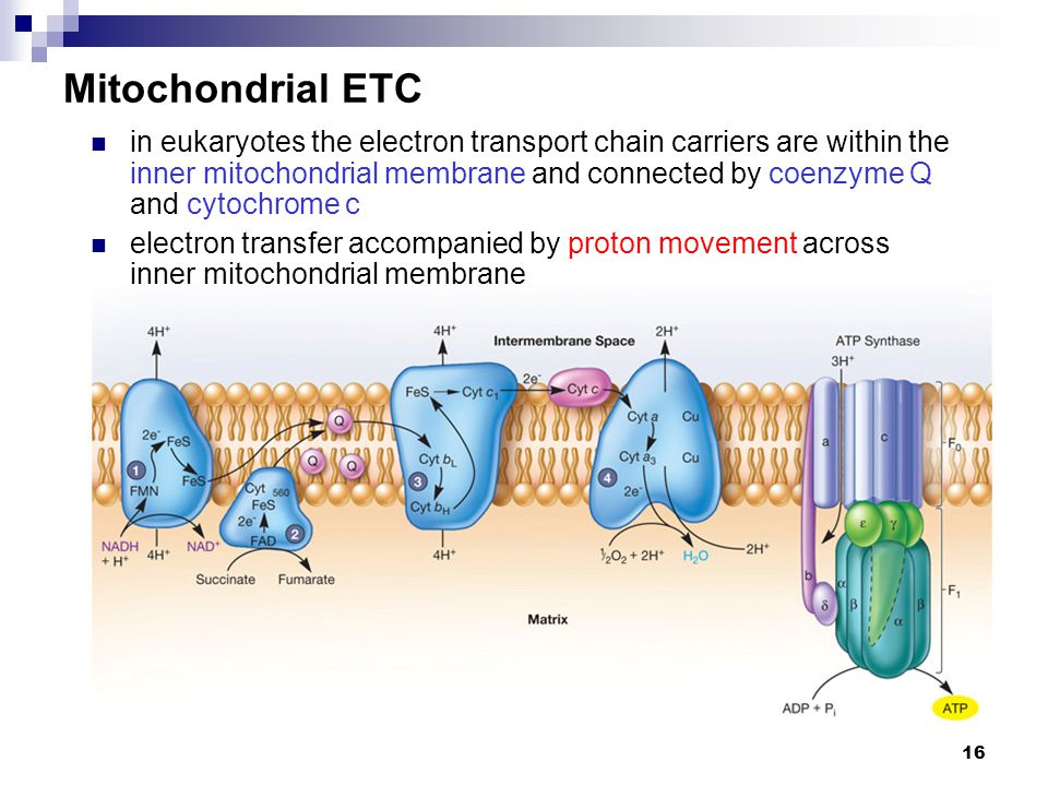 16 Mitochondrial ETC in eukaryotes the electron transport chain carriers are within the inner mitochondrial membrane and connected by coenzyme Q and c