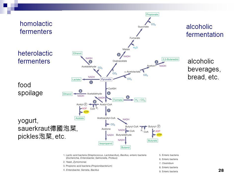 28 homolactic fermenters heterolactic fermenters food spoilage alcoholic fermentation alcoholic beverages, bread, etc. yogurt, sauerkraut 德國泡菜, pickle