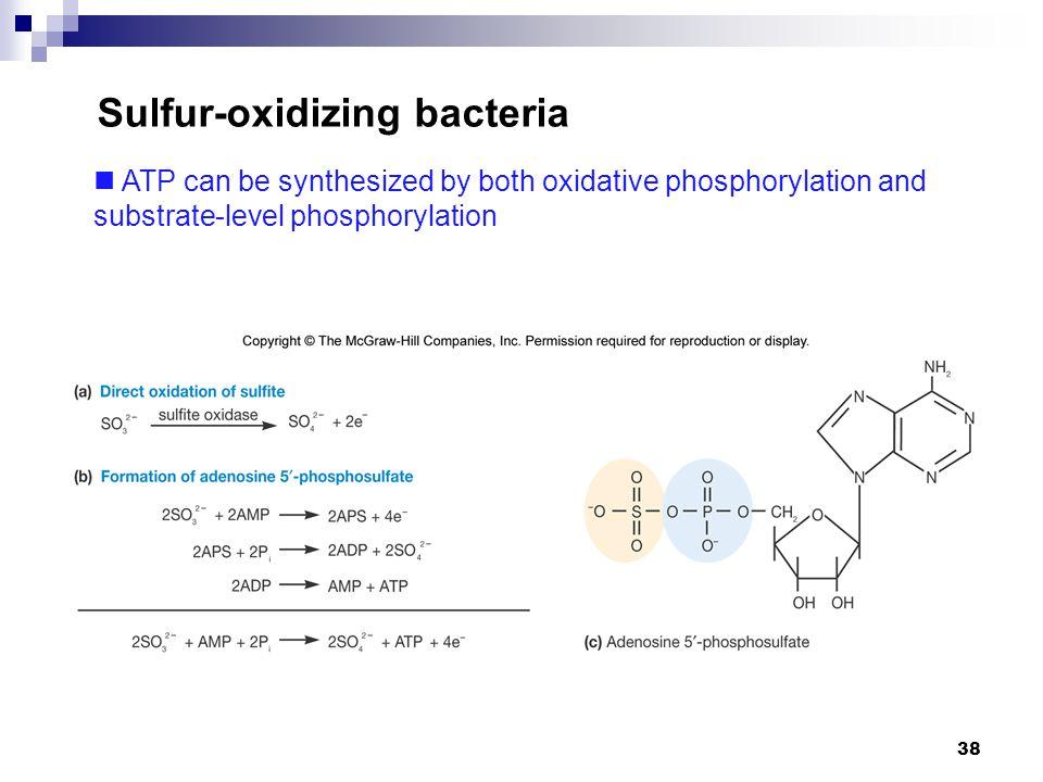 38 Sulfur-oxidizing bacteria ATP can be synthesized by both oxidative phosphorylation and substrate-level phosphorylation