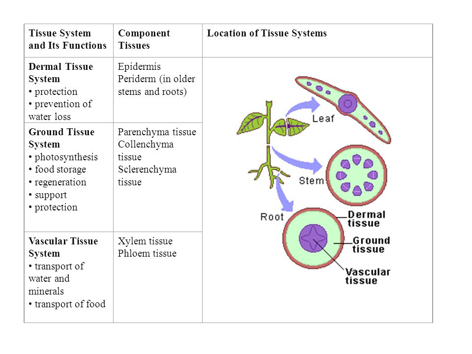 Use information from the table to answer the questions below it. Tissue System and Its Functions Component Tissues Location of Tissue Systems Dermal T