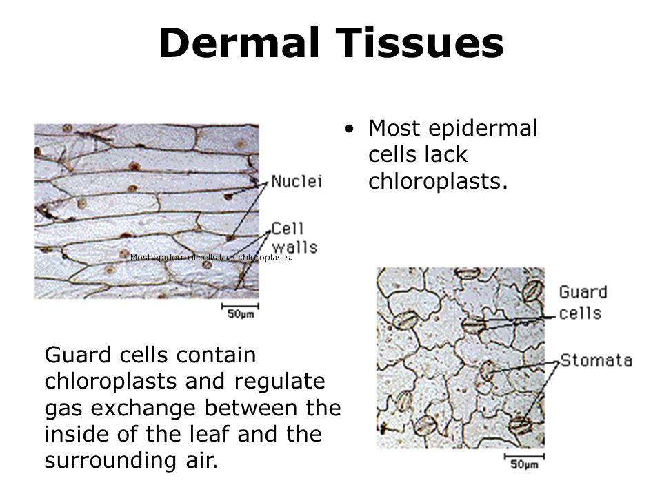 Most epidermal cells lack chloroplasts. Dermal Tissues Most epidermal cells lack chloroplasts. Guard cells contain chloroplasts and regulate gas excha